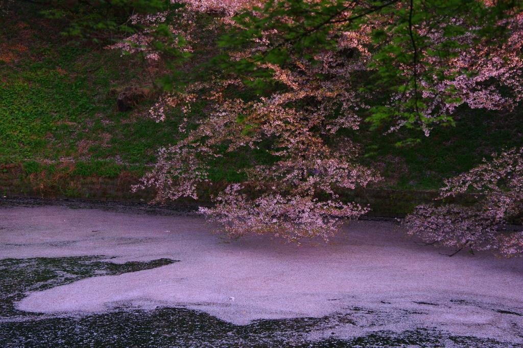 桜色の夢を。。。