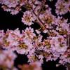 夜桜☆。.:*・゜一緒に見ませんか?