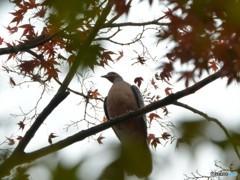 鳥さんと紅葉