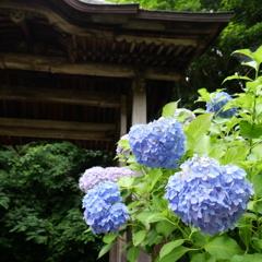 山陰の紫陽花寺