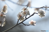 梅の花びら。