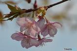 河津桜の風