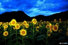 蒜山上徳山 向日葵
