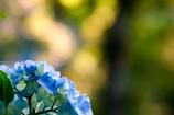 幻想紫陽花