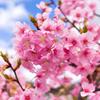 河津桜 昼②