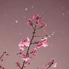 河津桜 夜景①