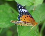 きれいだった蛾?蝶?