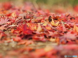 落ち葉も赤く