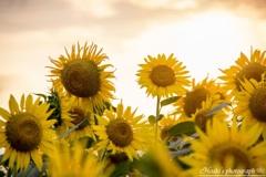 Shining sunflower Ⅶ