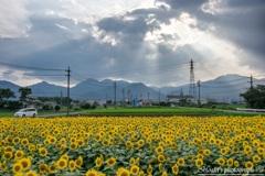 Shining sunflower Ⅵ