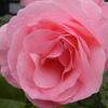 薔薇 (APE-540.)