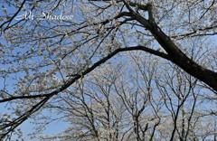 APE-030  「桜花&富士山」