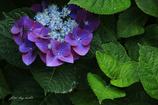紫陽花の誘惑