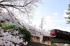 甲陽線×桜