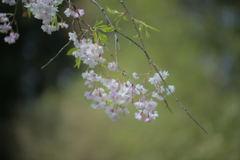 人待ち桜・・・
