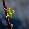 レンギョウ咲く早春