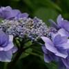2016 紫陽花 ⑨