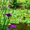 池そばの菖蒲