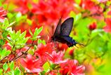 ツツジに似合う蝶