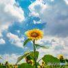 夏の風物詩-ひまわり2