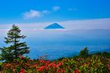 富士山を迎える満開のツツジ