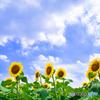 夏の風物詩-ひまわり1