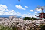 桜雪を降る富士山