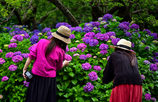 紫陽花と共演