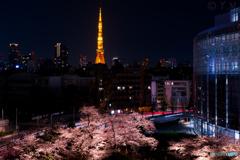 東京タワーと桜1