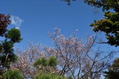 常泉寺の花-四季咲き桜-
