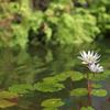 温室の睡蓮