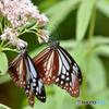 高原に寄り添う蝶