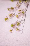 桜~memory~Ⅱ