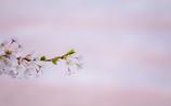 桜~memory~Ⅲ