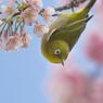 河津桜とメジロさん♪*゚