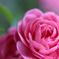 English Rose☆.。.:*・