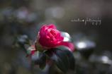 Camellia☆.。.:*・
