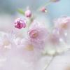 ゆめ桜❀.。.:*・