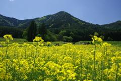 信州菜の花