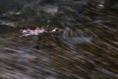 桜、流るる