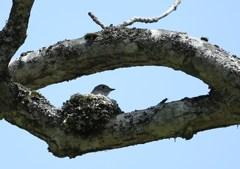 戸隠にて 樹上のコサメビタキ抱卵中