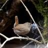 巣作りの最中。ミソサザイ