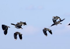 飛ぶタゲリ