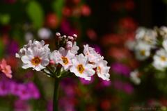 山葵田に咲く九輪草 Ⅳ