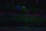 紫陽花とホタル