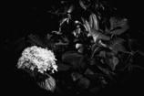 hydrangea & leaves