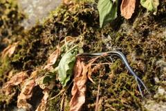 枯草の二尾トカゲ
