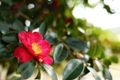 山茶花の香り