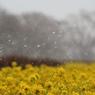 雪が舞う菜の花畑