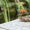 黄菖蒲池のトノサマガエル